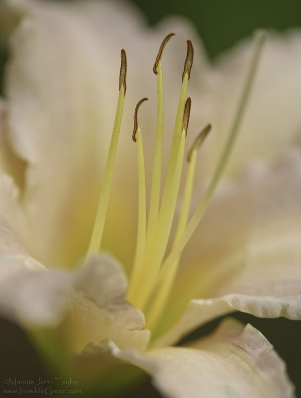 Day Lily 2009 I