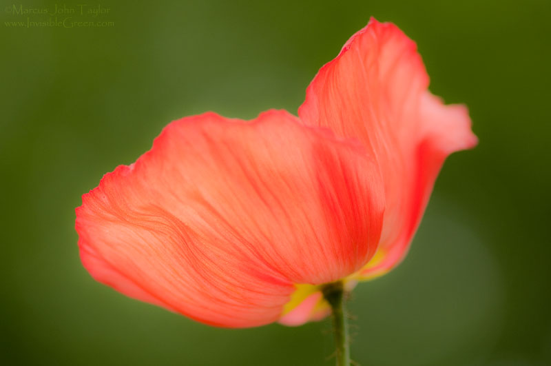 Single Poppy -- Georgia Botanical Gardens